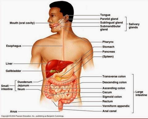 Anatomi Dan Fisiologi Sistem Pencernaan Manusia Beserta Gangguannya Terlengkap Penjaskes Co Id