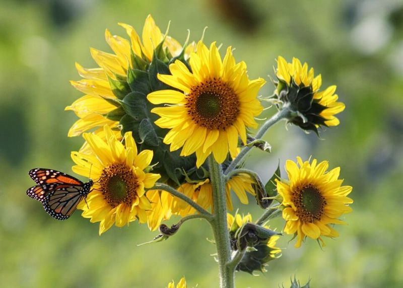 Cara Penyerbukan Bunga Matahari Pengertian Ciri Dan Tujuannya Lengkap Penjaskes Co Id