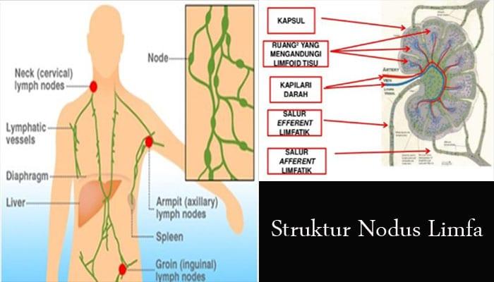 Nodus Limfa Pengertian Struktur Letak Fungsi Dan Cara Kerja Penjaskes Co Id