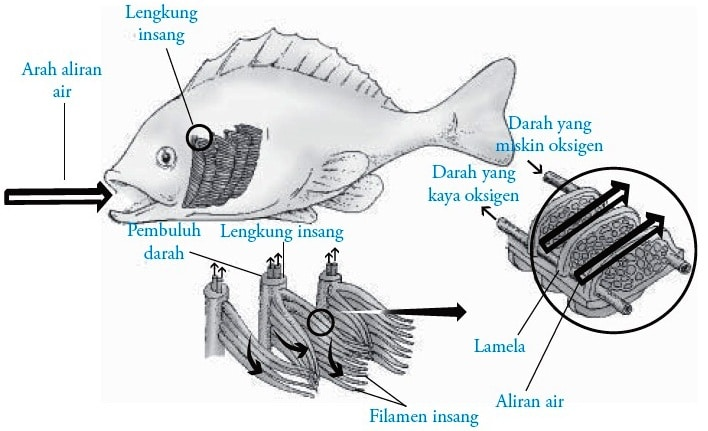 Sistem Pernapasan Pada Ikan Pengertian Bagian Bentuk Fungsi Dan Cara Kerja Penjaskes Co Id