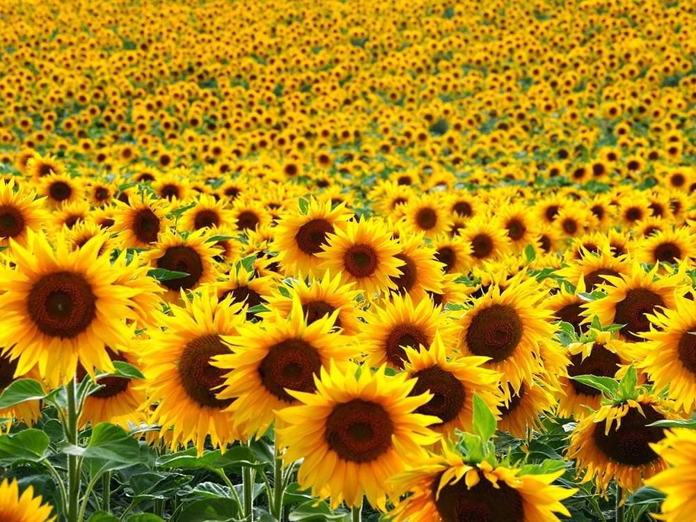 Proses Pertumbuhan Tanaman Bunga Matahari Paling Lengkap Penjaskes Co Id