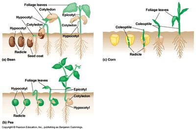 2 Proses Fase Pertumbuhan Tanaman Kacang Tanah Paling Lengkap Penjaskes Co Id
