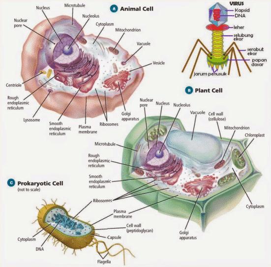 6 Penjelasan Lengkap Perbedaan Sel Hewan Tumbuhan Dan Bakteri Penjaskes Co Id