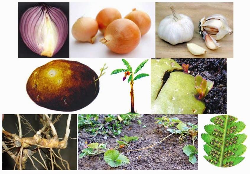 Kelebihan Perkembangbiakan Vegetatif Di Bandingkan Generatif Pada Tumbuhan Penjaskes Co Id