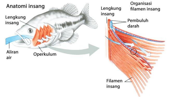Sistem Pernapasan Pada Ikan Bertulang Sejati Dan Penjelasannya Penjaskes Co Id